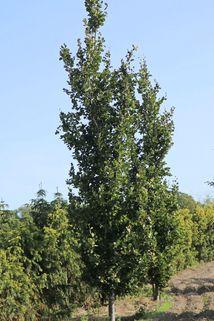 Säulenbuche 'Dawyck' - Fagus sylvatica 'Dawyck'