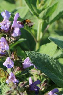 Salbei 'Berggarten' - Salvia officinalis 'Berggarten'