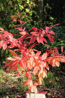 Sauerbaum - Oxydendrum arboreum