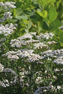 Schafgarbe 'Schneetaler' - Achillea millefolium 'Schneetaler'