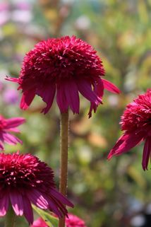 Scheinsonnenhut 'Secret Affairs' - Echinacea purpurea 'Secret Affairs'