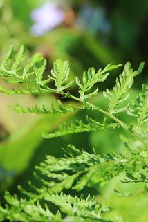 Schellenbaum-Wurmfarn 'Linearis Polydactylon' - Dryopteris filix-mas 'Linearis Polydactylon'