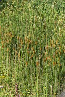 Schmalblättriger Rohrkolben - Typha angustifolia