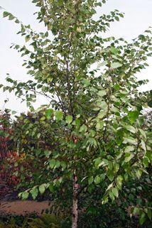 Schwarzbirke 'Heritage' - Betula nigra 'Heritage'
