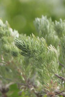 Silber-Wermut 'Mori' - Artemisia stelleriana 'Mori'