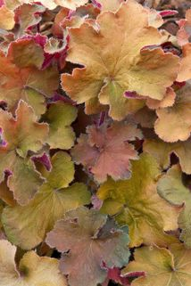 Silberglöckchen 'Big Top Gold' - Heuchera villosa 'Big Top Gold'
