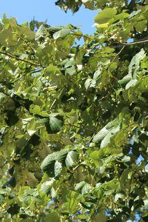 Silberlinde - Tilia tomentosa