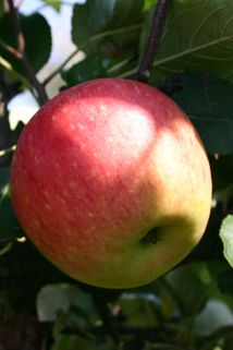 Sommerapfel 'James Grieve' - Malus 'James Grieve'