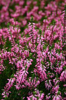 Sommerheide / Besenheide 'Anette' - Calluna vulgaris 'Anette'