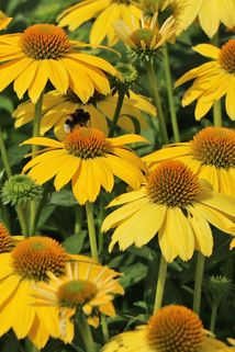 Sonnenscheinhut 'Lemon Yellow' - Echinacea purpurea 'Sombrero Lemon Yellow'