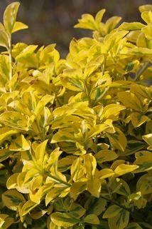 Spindelstrauch / Kriechspindel 'Emerald'n Gold' - Euonymus fortunei 'Emerald'n Gold'