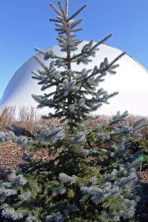 Stech-Fichte / Blautanne - Picea pungens