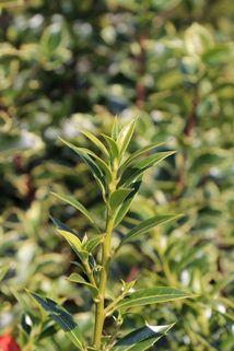 Stechpalme 'Harpune' - Ilex aquifolium 'Harpune'