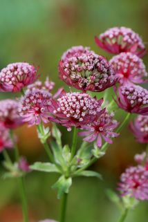 Sterndolde 'Moulin Rouge' ® - Astrantia major 'Moulin Rouge' ®