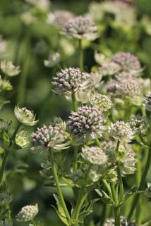 Sterndolde 'Star of Billion' ® - Astrantia major 'Star of Billion' ®