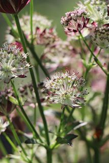 Sterndolde 'Star of Passion' - Astrantia major 'Star of Passion'