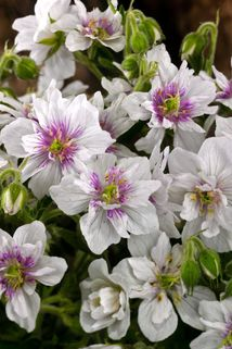 Storchschnabel 'Double Jewel' - Geranium pratense 'Double Jewel'