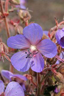 Storchschnabel 'Hocus Pocus' - Geranium pratense 'Hocus Pocus'