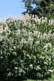 Strauchkastanie - Aesculus parviflora