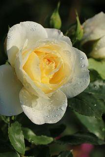 Strauchrose 'Friedenslicht' ® - Rosa 'Friedenslicht' ®