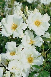 Strauchrose 'White Haze' ® - Rosa 'White Haze' ® ADR-Rose