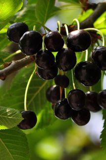 Süßkirsche 'Knauffs Schwarze' - Prunus 'Knauffs Schwarze'
