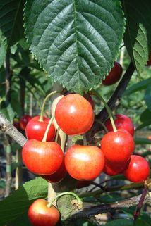 Süßkirsche 'Querfurter Königskirsche' - Prunus 'Querfurter Königskirsche'
