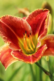 Taglilie 'Fire and Fog' - Hemerocallis x cultorum 'Fire and Fog'