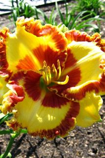 Taglilie 'Lady Betty Fretz' - Hemerocallis x cultorum 'Lady Betty Fretz'