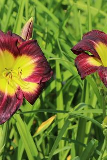 Taglilie 'Night Beacon' - Hemerocallis x cultorum 'Night Beacon'