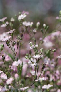 Teppich-Schleierkraut 'Rosea' - Gypsophila repens 'Rosea'