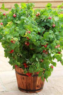 Topf-Himbeere / Zwerg-Himbeere 'Ruby Beauty' ® - Rubus idaeus 'Ruby Beauty' ®