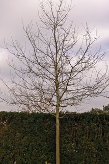 Trauben-Eiche - Quercus petraea