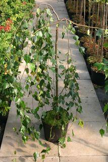 Trauerbirke auf Stamm - Betula pendula 'Youngii' Stamm