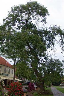 Traueresche - Fraxinus excelsior 'Pendula'