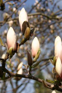 Tulpen-Magnolie 'Sundew' - Magnolia soulangiana 'Sundew'