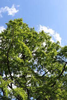 Urwelt-Mammutbaum / Chinesisches Rotholz - Metasequoia glyptostroboides
