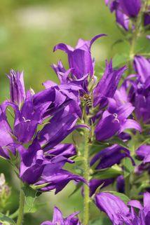 Wald Glockenblume - Campanula latifolia var. macrantha