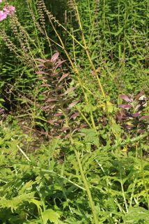 Weiche Bärentatze - Acanthus mollis