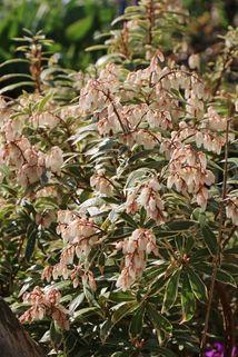 Weißbuntes Schattenglöckchen 'Variegata' - Pieris japonica 'Variegata'