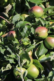 Winterapfel 'London Pepping' - Malus 'London Pepping'