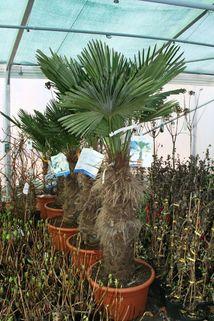 Winterharte Palme / Wagners Hanf-Palme - Trachycarpus wagnerianus