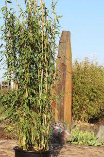 Winterharter Gartenbambus 'Brillant' (S) - Fargesia murieliae 'Brillant' (S)