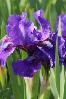 Zwergige Schwertlilie 'Banbury Ruffles' - Iris x barbata-nana 'Banbury Ruffles'
