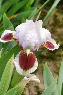 Zwergige Schwertlilie 'Cherry Spot' - Iris x barbata-nana 'Cherry Spot'