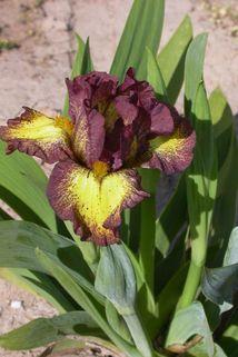 Zwergige Schwertlilie 'Ringer' - Iris x barbata-nana 'Ringer'
