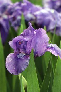 Zwergige Schwertlilie 'Truly' - Iris x barbata-nana 'Truly'