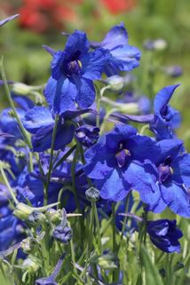 Zwergiger Rittersporn 'Blauer Zwerg' - Delphinium grandiflorum 'Blauer Zwerg'
