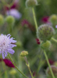 Witwenblumen (Knautia)