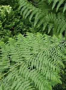 Adlerfarngewächse (Dennstaedtiaceae)